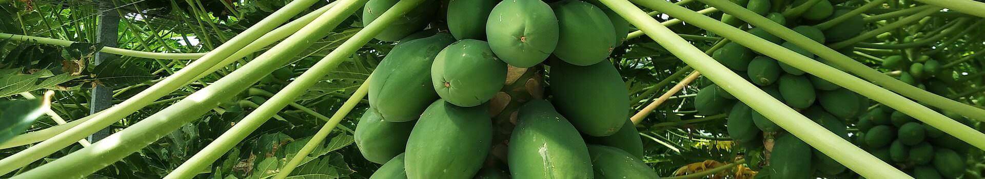 papaya-2922188_1920