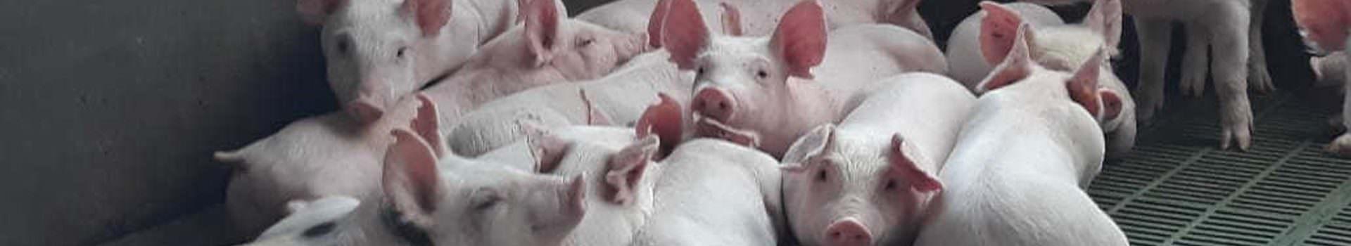 cerdo fase 2